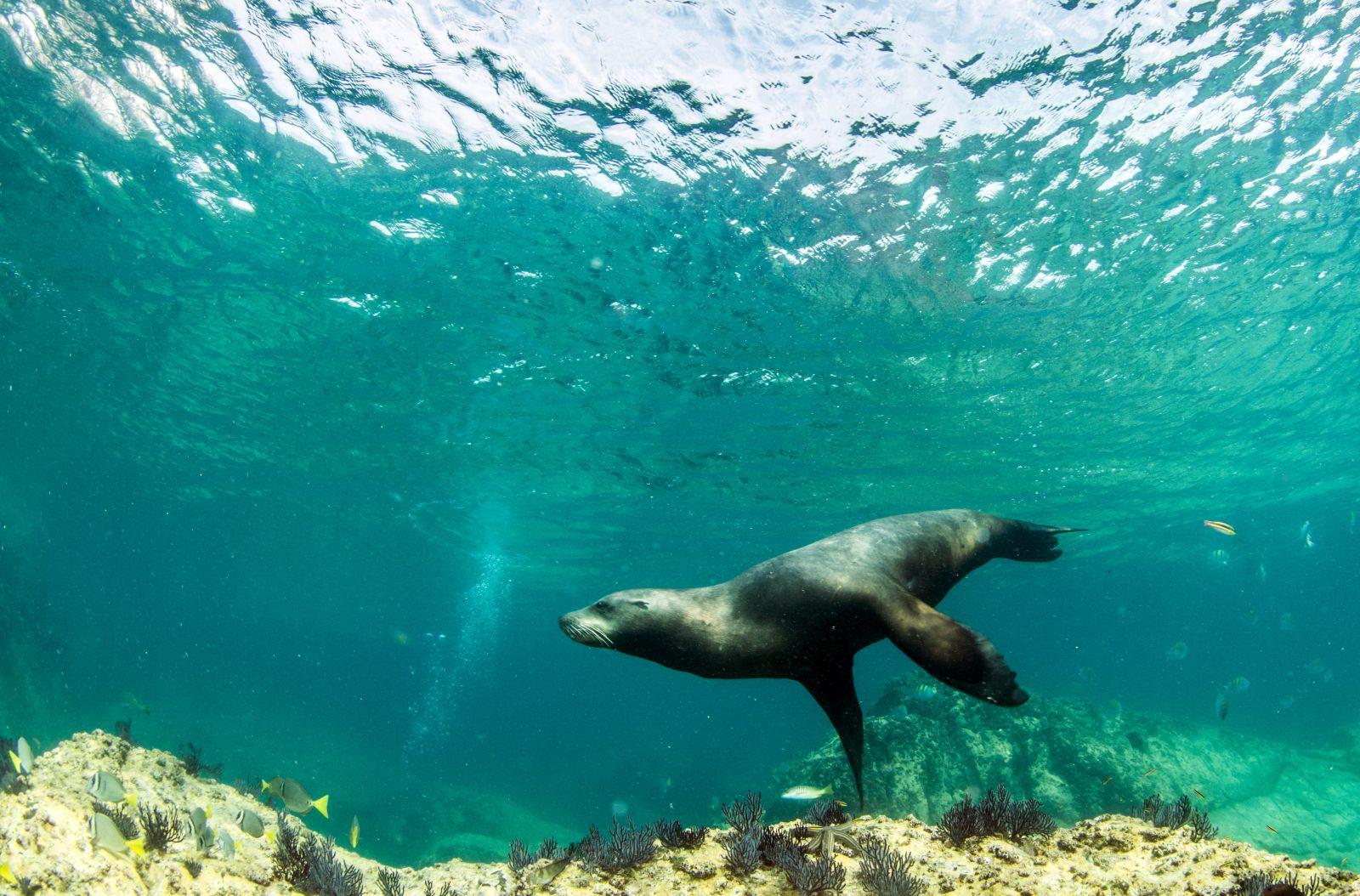 Taucher und Schnorchler werden im Golf immer wieder Seelöwen begegnen, die hier in größerer Zahl leben und selbst neugierig auf Besucher sind. ©Michael Bogner/AdobeStock