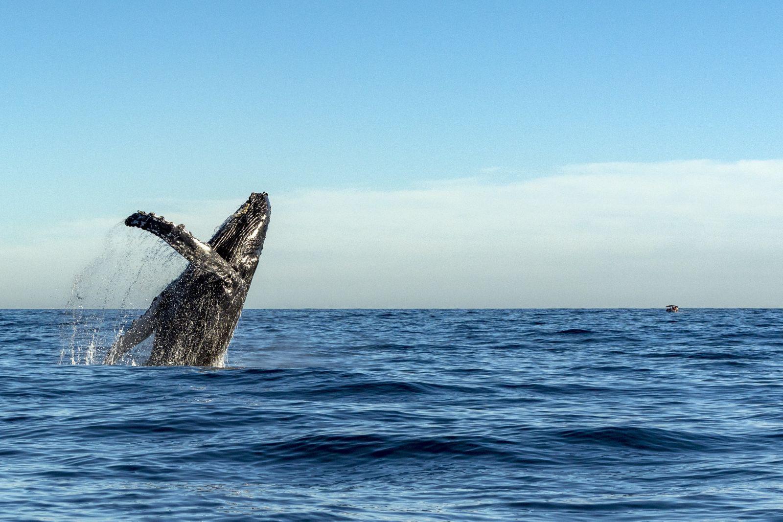Doch unter Wasser ist viel los! Buckelwale und Grauwale kommen jedes Jahr auf ihrer Wanderung in den Golf von Kalifornien, eine Unterart von Finnwalen lebt hier ganzjährig. ©Andrea Izzotti/AdobeStock